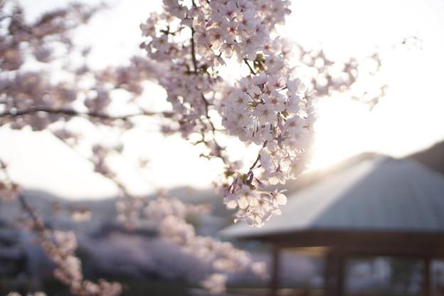 須磨寺公園の桜
