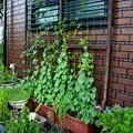 Photos: 2018年夏の庭2