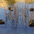Photos: 羽繕いするカルガモたち