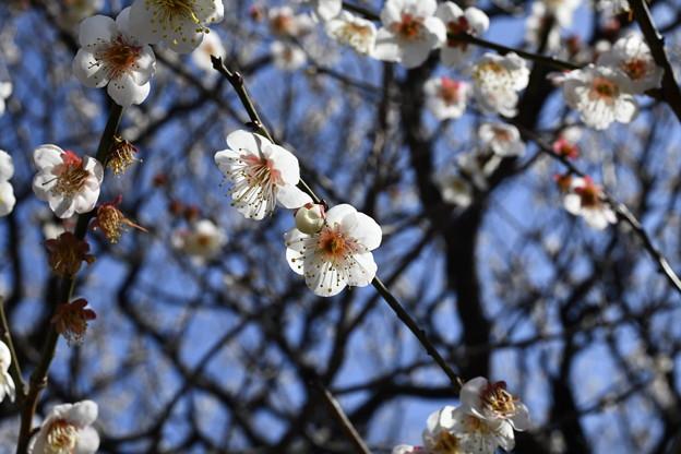 写真: 温暖化の進む冬の開花