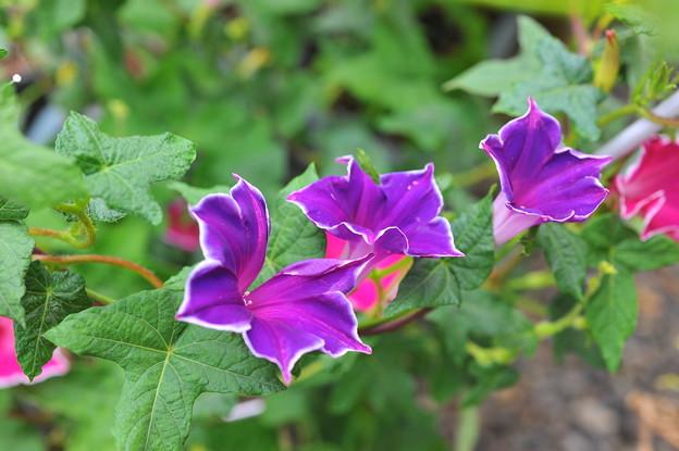 キキョウ咲きアサガオ・ブルー
