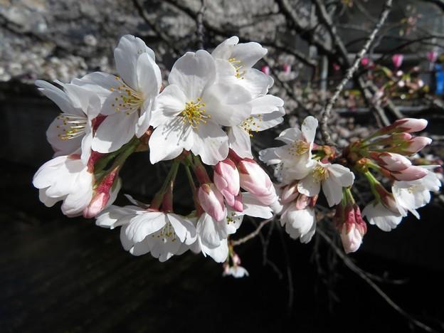 Photos: 2018.3.24 目黒川の桜