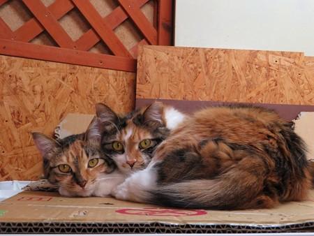 ララ&ナナ「あたしたち、ニャかよし姉妹なの」