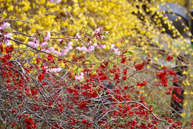 レンギョウボケ桜