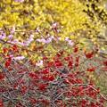 写真: レンギョウボケ桜