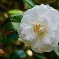白い椿さん