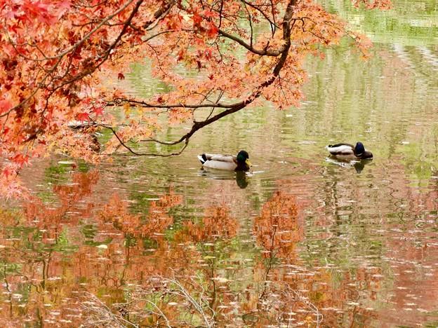 Photos: 池もみじ