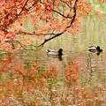 写真: 池もみじ