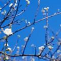写真: 桃の花