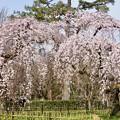 Photos: 近衛邸跡の桜