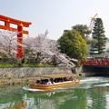 Photos: 大鳥居に桜