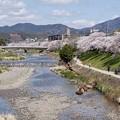 Photos: 高野川堤の桜