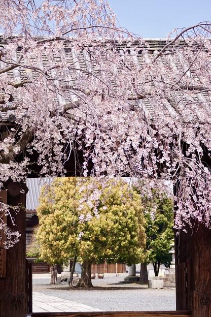 大門と枝垂れ桜 2