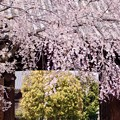 Photos: 大門と枝垂れ桜 2