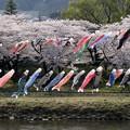 Photos: 北上川を泳ぐ鯉のぼり
