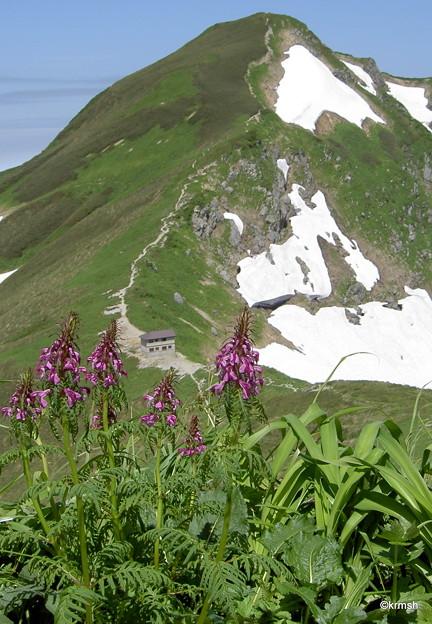 キタヨツバシオガマと北股岳