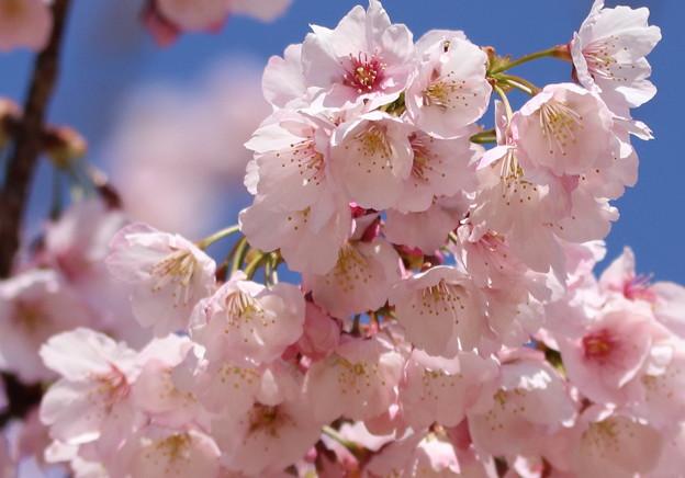 桜も見れる 中京競馬場