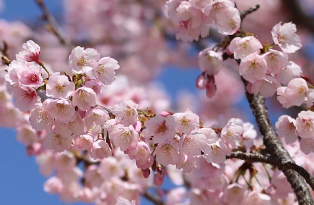 桜見頃 中京競馬場