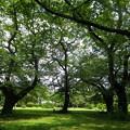盛夏の桜園