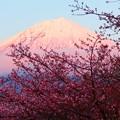 3月1日富士宮からの夕方富士山 河津桜と紅富士のピンクピンクで撮ってみました~ 今日もお疲れ様(^ ^)