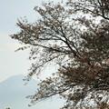 2016/04/09・・・日本五大桜の1つ?01