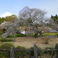 2016/04/09・・・日本五大桜の1つ?03