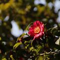 写真: サザンカ(山茶花) 09022018