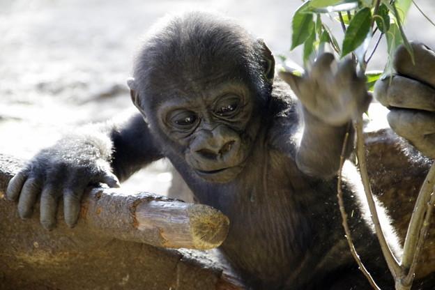 写真: リキ 上野動物園のニシゴリラの赤ちゃん 14022018