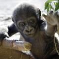 リキ 上野動物園のニシゴリラの赤ちゃん 14022018