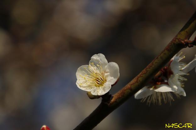 シロカガ(白加賀) 24022018