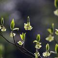 写真: クロモジ(黒文字) 24032018
