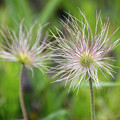 写真: オキナグサ(翁草)の種子 15042018