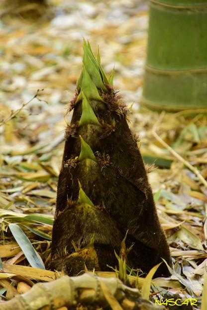 タケノコ(竹の子、筍) 18042018