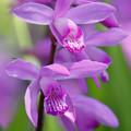 シラン(紫蘭) 22042018