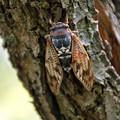 アブラゼミ(油蝉、鳴蜩) 06082018