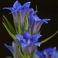 写真: ササリンドウ(笹竜胆) 30102018