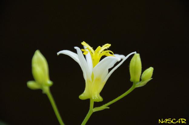 ホトトギス(杜鵑草) 30102018