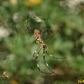 Photos: ジョロウグモ(女郎蜘蛛) 07112018