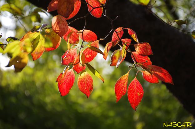 Photos: ハナミズキ(花水木) 紅葉