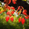 ハナミズキ(花水木) 紅葉