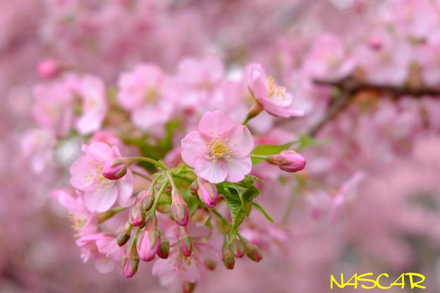 カワヅザクラ(河津桜) 06032019