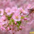 写真: カワヅザクラ(河津桜) 06032019