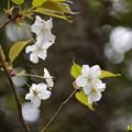 写真: ヤマザクラ(山桜) 26032019