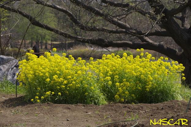 ナノハナ(菜の花) 06042019