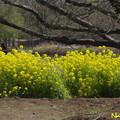 Photos: ナノハナ(菜の花) 06042019