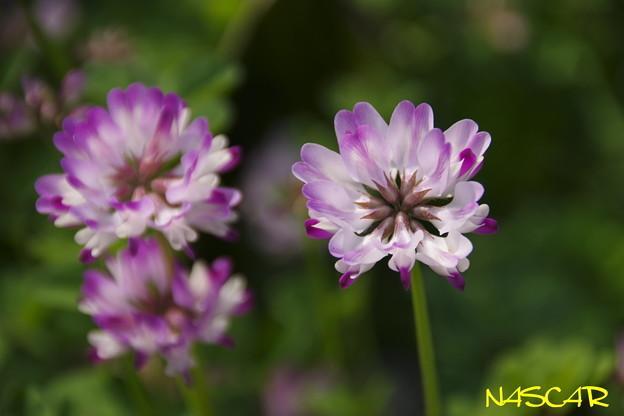 ゲンゲ(紫雲英) 06042019