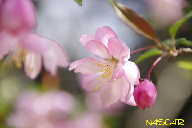 ハナカイドウ(花海棠) 06042019