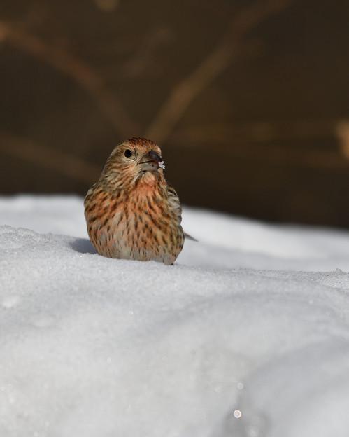 雪オオマシコ