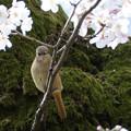 桜常鶲 (2)