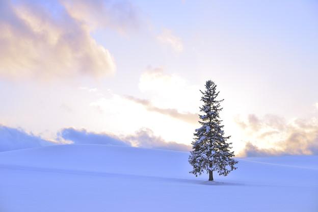 美瑛/ 聖誕之樹